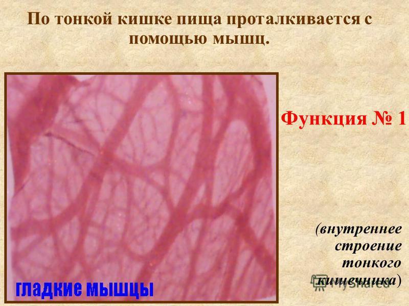 Функция 1 (внутреннее строение тонкого кишечника) По тонкой кишке пища проталкивается с помощью мышц.