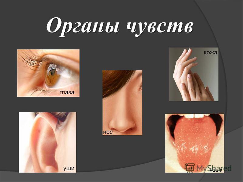глаза уши нос язык кожа Органы чувств