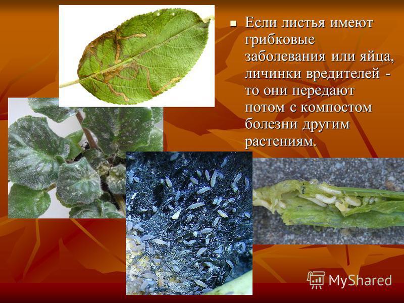 Если листья имеют грибковые заболевания или яйца, личинки вредителей - то они передают потом с компостом болезни другим растениям. Если листья имеют грибковые заболевания или яйца, личинки вредителей - то они передают потом с компостом болезни другим