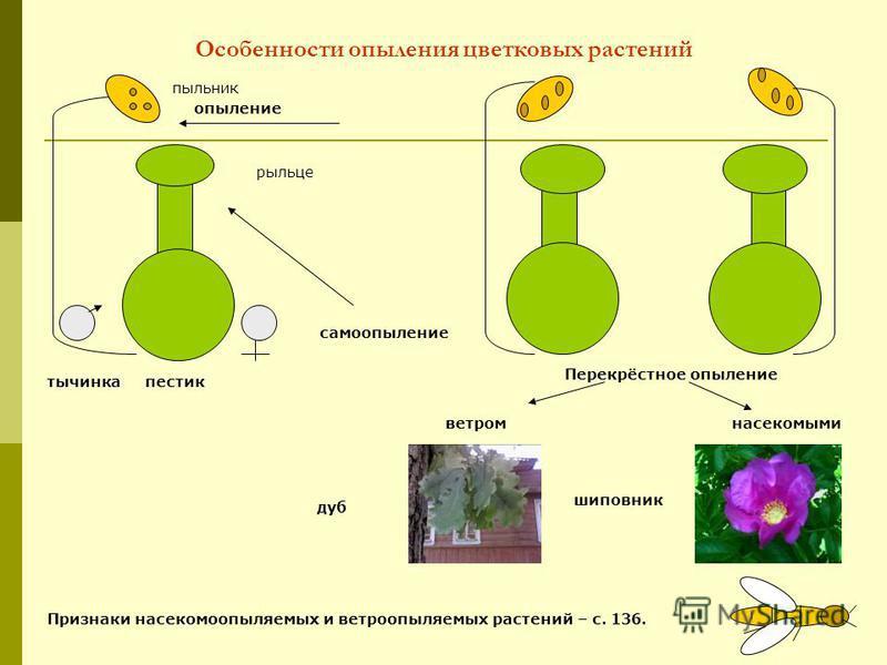 Особенности опыления цветковых растений пестик тычинка опыление пыльник рыльце Перекрёстное опыление самоопыление ветром насекомыми Признаки насекомоопыляемых и ветроопыляемых растений – с. 136. дуб шиповник