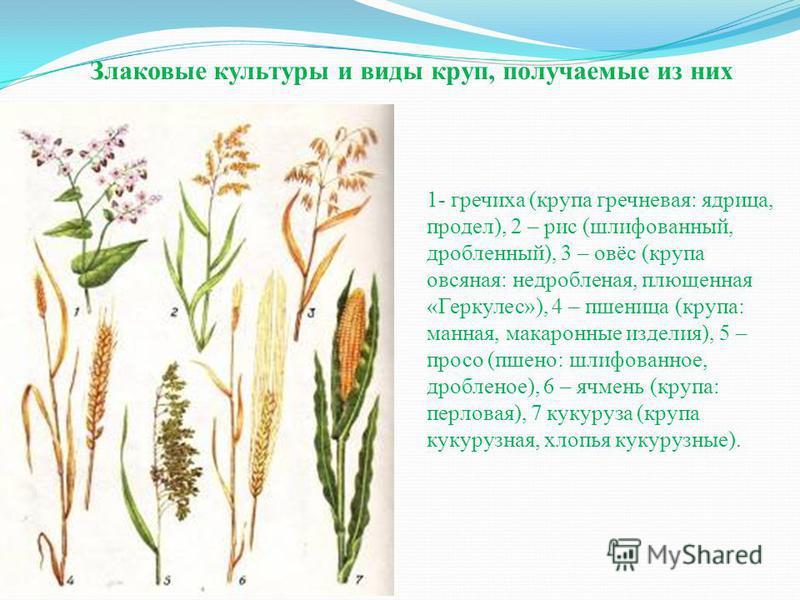 1- гречиха (крупа гречневая: ядрица, продел), 2 – рис (шлифованный, дробленный), 3 – овёс (крупа овсяная: недробленая, плющенная «Геркулес»), 4 – пшеница (крупа: манная, макаронные изделия), 5 – просо (пшено: шлифованное, дробленое), 6 – ячмень (круп