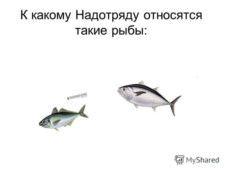 К какому Надотряду относятся такие рыбы: