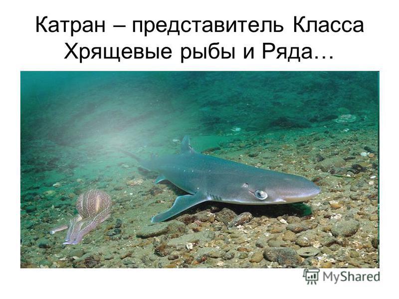 Катран – представитель Класса Хрящевые рыбы и Ряда…