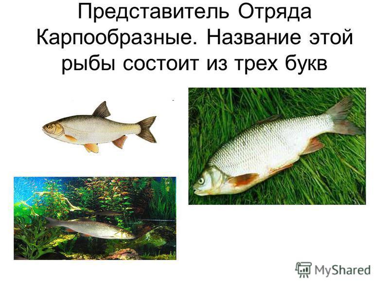 Представитель Отряда Карпообразные. Название этой рыбы состоит из трех букв