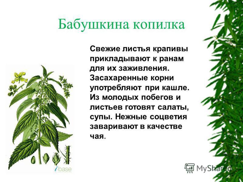 Свежие листья крапивы прикладывают к ранам для их заживления. Засахаренные корни употребляют при кашле. Из молодых побегов и листьев готовят салаты, супы. Нежные соцветия заваривают в качестве чая. Бабушкина копилка
