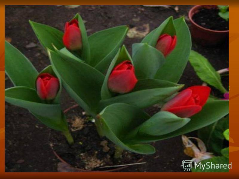 Род тюльпан (Tulipa) Тюльпан (Tulipa) - одно из красивейших и широко распространённых растений, цветущих весной. Название его происходит от персидского слова, означающего