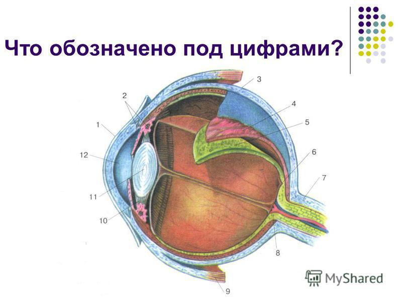 Комягина Т.В. МОУ СОШ 7 г.Кировска Что обозначено под цифрами?