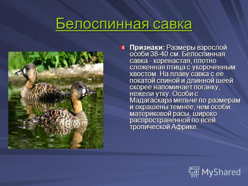 Белоспинная савка Белоспинная савка Признаки: Размеры взрослой особи 38-40 см. Белоспинная савка - коренастая, плотно сложенная птица с укороченным хвостом. На плаву савка с ее покатой спиной и длинной шеей скорее напоминает поганку, нежели утку. Осо