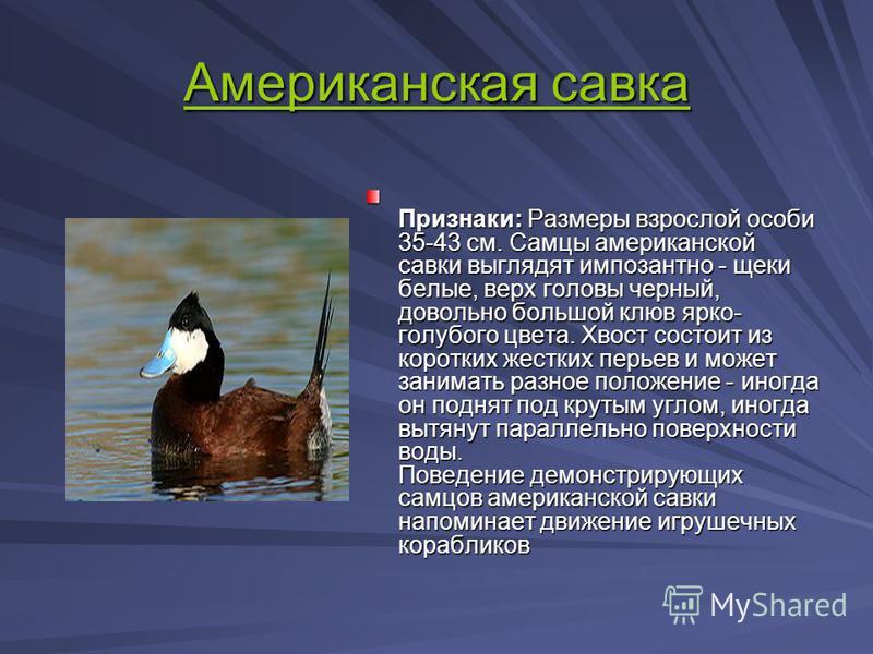Американская савка Американская савка Признаки: Размеры взрослой особи 35-43 см. Самцы американской савки выглядят импозантно - щеки белые, верх головы черный, довольно большой клюв ярко- голубого цвета. Хвост состоит из коротких жестких перьев и мож