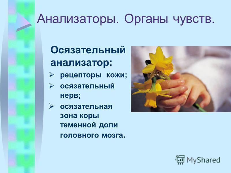Анализаторы. Органы чувств. Осязательный анализатор: рецепторы кожи; осязательный нерв; осязательная зона коры теменной доли головного мозга.