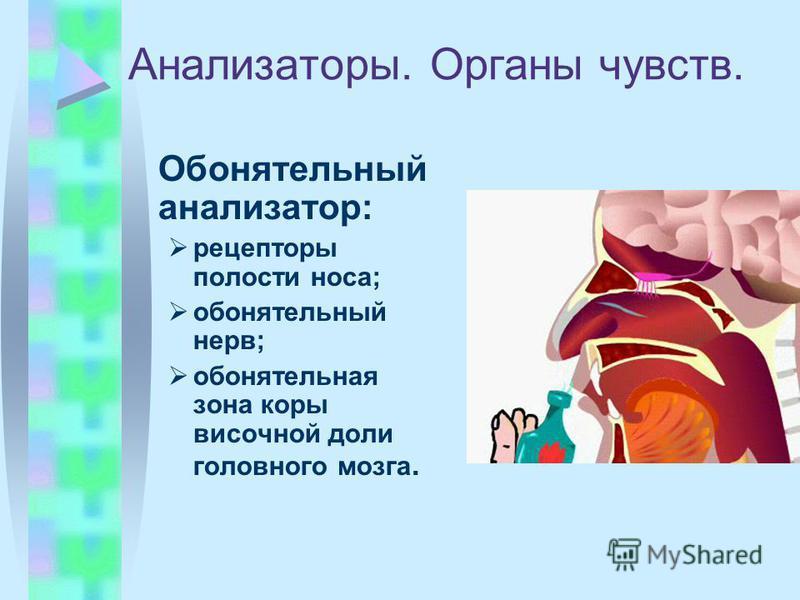 Анализаторы. Органы чувств. Обонятельный анализатор: рецепторы полости носа; обонятельный нерв; обонятельная зона коры височной доли головного мозга.