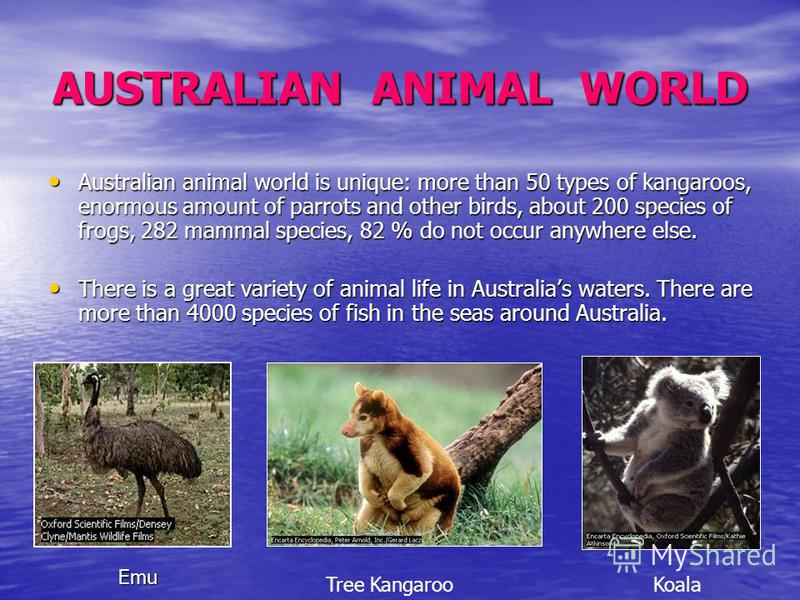 AUSTRALIAN ANIMAL WORLD Australian animal world is unique: more than 50 types of kangaroos, enormous amount of parrots and other birds, about 200 species of frogs, 282 mammal species, 82 % do not occur anywhere else. Australian animal world is unique