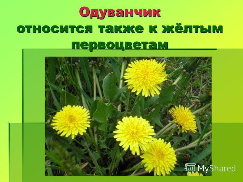 Одуванчик относится также к жёлтым первоцветам