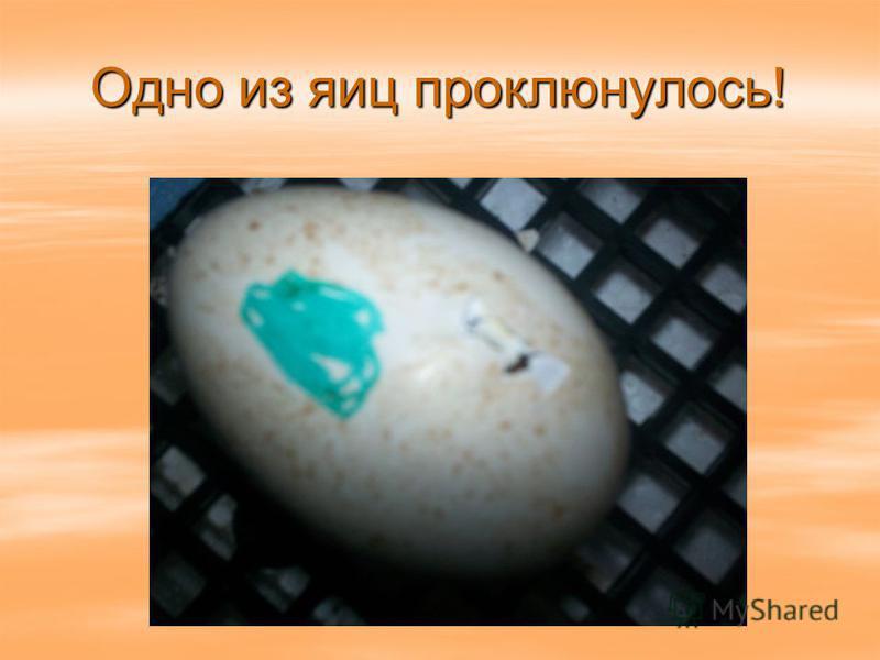 Одно из яиц проклюнулось!