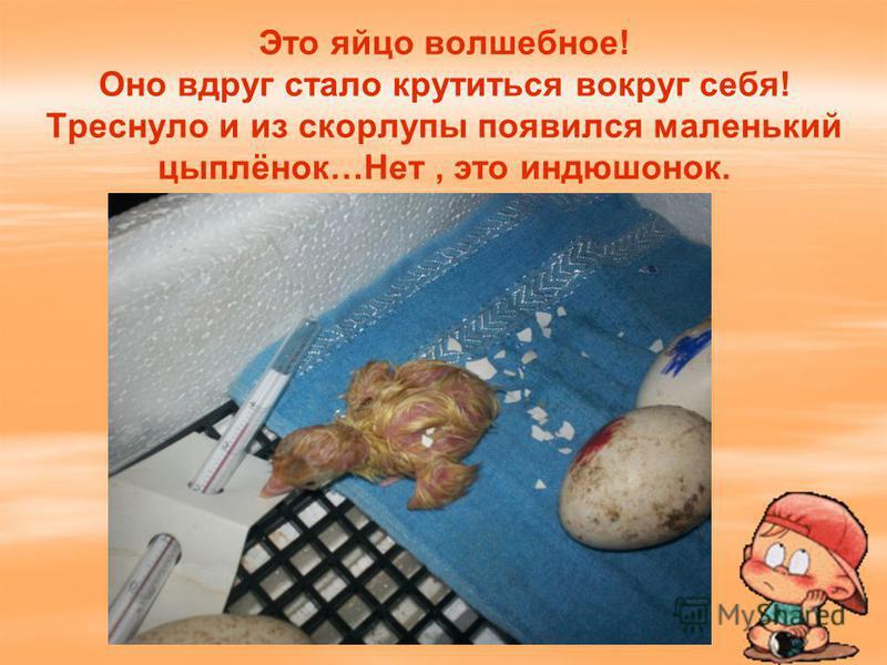 Это яйцо волшебное! Оно вдруг стало крутиться вокруг себя! Треснуло и из скорлупы появился маленький цыплёнок…Нет, это индюшонок.