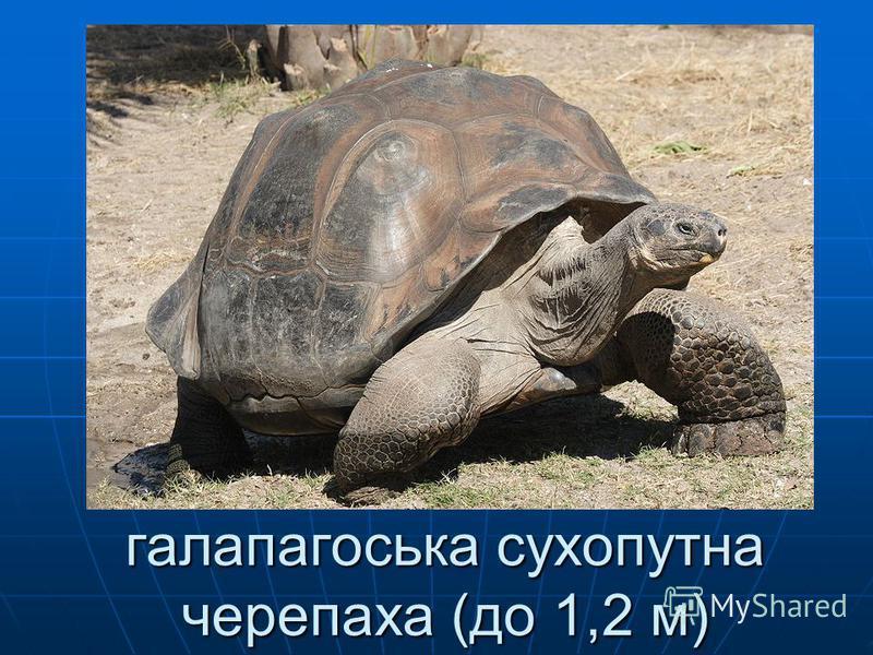 галапагоська сухопутна черепаха (до 1,2 м)