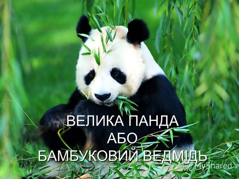 ВЕЛИКА ПАНДА АБО БАМБУКОВИЙ ВЕДМІДЬ