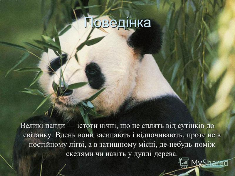 Поведінка Великі панди істоти нічні, що не сплять від сутінків до світанку. Вдень вони засипають і відпочивають, проте не в постійному лігві, а в затишному місці, де-небудь поміж скелями чи навіть у дуплі дерева.