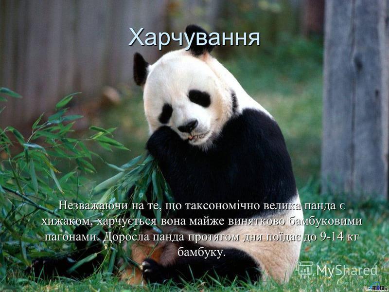 Харчування Незважаючи на те, що таксономічно велика панда є хижаком, харчується вона майже винятково бамбуковими пагонами. Доросла панда протягом дня поїдає до 9-14 кг бамбуку.