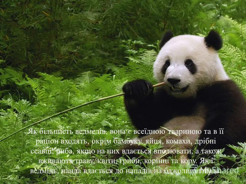Як більшість ведмедів, вона є всеїдною твариною та в її раціон входять, окрім бамбуку, яйця, комахи, дрібні ссавці, риба, якщо на них вдається вполювати, а також вживають траву, квіти, гриби, корінці та кору. Як і ведмідь, панда вдається до нападів н