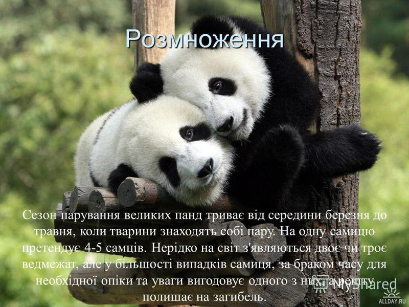 Розмноження Сезон парування великих панд триває від середини березня до травня, коли тварини знаходять собі пару. На одну самицю претендує 4-5 самців. Нерідко на світ з'являються двоє чи троє ведмежат, але у більшості випадків самиця, за браком часу