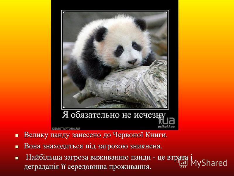 Велику панду занесено до Червоної Книги. Велику панду занесено до Червоної Книги. Вона знаходиться під загрозою зникненя. Вона знаходиться під загрозою зникненя. Найбільша загроза виживанню панди - це втрата і деградація її середовища проживання. Най