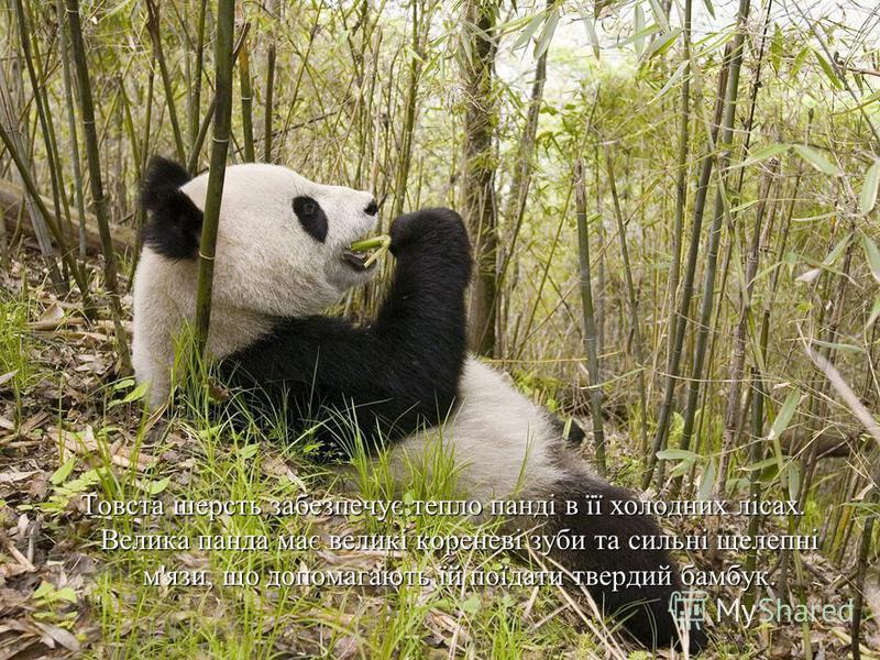 Товста шерсть забезпечує тепло панді в її холодних лісах. Велика панда має великі кореневі зуби та сильні щелепні м'язи, що допомагають їй поїдати твердий бамбук.
