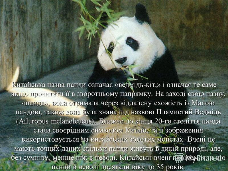 Китайська назва панди означає «ведмідь-кіт,» і означає те саме якщо прочитати її в зворотньому напрямку. На заході свою назву, «панда», вона отримала через віддалену схожість із Малою пандою, також вона була знана під назвою Плямистий Ведмідь (Ailuro