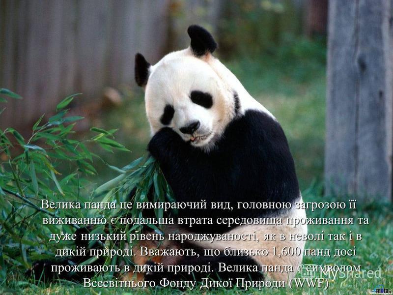 Велика панда це вимираючий вид, головною загрозою її виживанню є подальша втрата середовища проживання та дуже низький рівень народжуваності, як в неволі так і в дикій природі. Вважають, що близько 1,600 панд досі проживають в дикій природі. Велика п