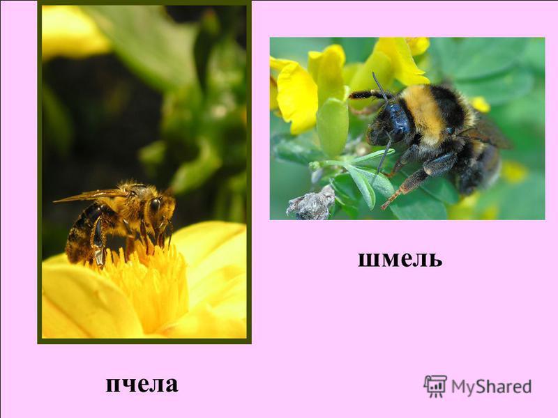 шмель пчела