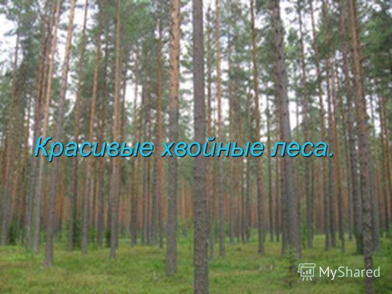 Красивые хвойные леса.