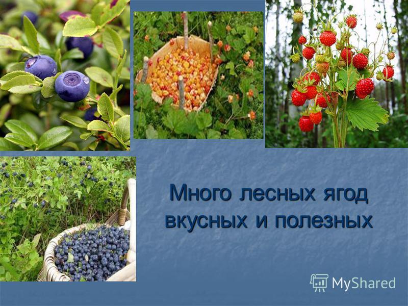 Много лесных ягод вкусных и полезных