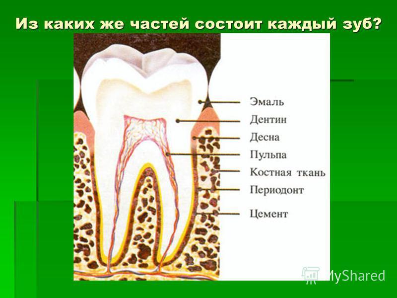 Из каких же частей состоит каждый зуб?