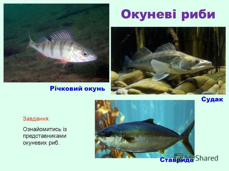 Окуневі риби Річковий окунь Судак Ставрида Завдання. Ознайомитись із представниками окуневих риб.