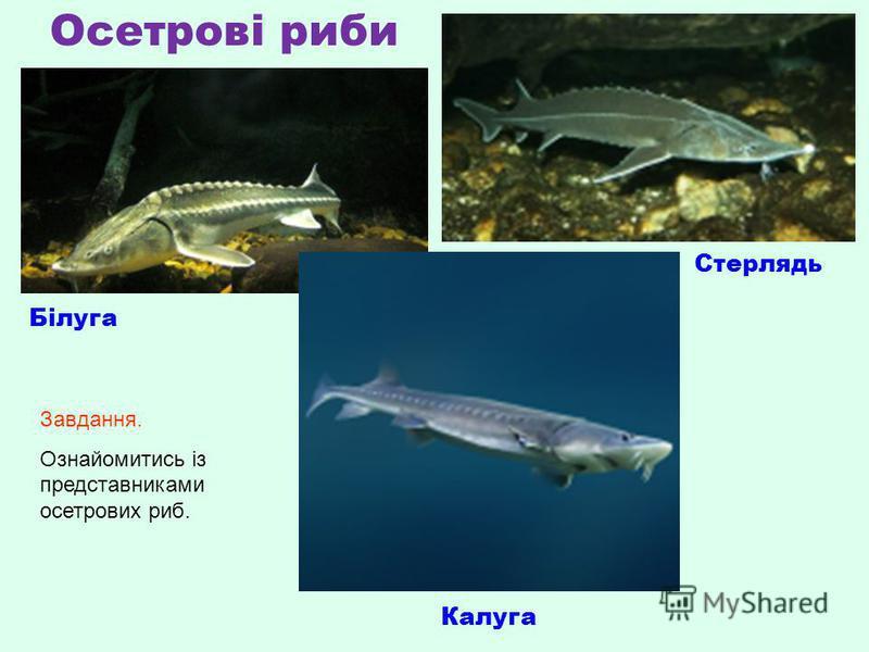 Осетрові риби Білуга Калуга Стерлядь Завдання. Ознайомитись із представниками осетрових риб.