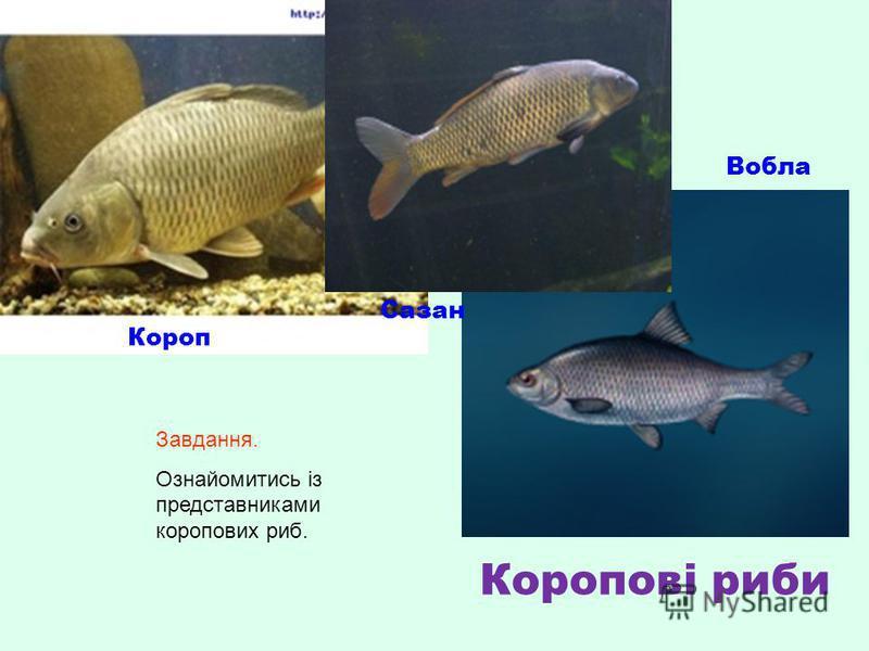 Короп Вобла Сазан Коропові риби Завдання. Ознайомитись із представниками коропових риб.
