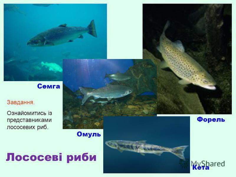 Семга Омуль Форель Кета Лососеві риби Завдання. Ознайомитись із представниками лососевих риб.