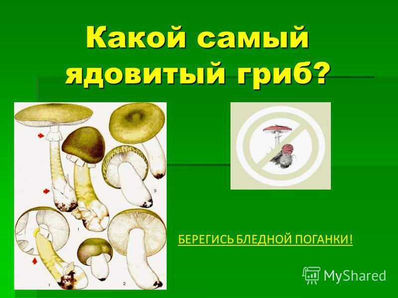 Какой самый ядовитый гриб? Какой самый ядовитый гриб? БЕРЕГИСЬ БЛЕДНОЙ ПОГАНКИ!