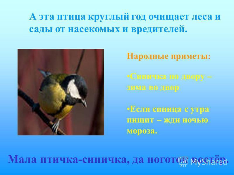 А эта птица круглый год очищает леса и сады от насекомых и вредителей. Мала птичка-синичка, да ноготок востёр. Народные приметы : Синичка по двору – зима во двор Если синица с утра пищит – жди ночью мороза.