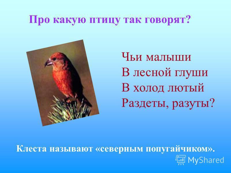 Про какую птицу так говорят? Клеста называют «северным попугайчиком». Чьи малыши В лесной глуши В холод лютый Раздеты, разуты?