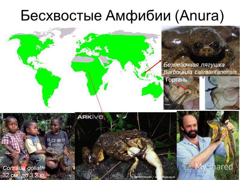 Безлёгочные саламандры Ensatina eschscholtzii