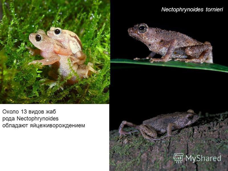 Rheobatrachus silus Австралийская лягушка, которая выращивает потомство в желудке Желудок с развивающимися головастиками Желудок, после родов Самка, рожающая детёнышей (до 26)