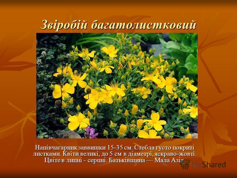 Звіробій багатолистковий Напівчагарник заввишки 15-35 см. Стебла густо покриті листками. Квіти великі, до 5 см в діаметрі, яскраво-жовті. Цвіте в липні - серпні. Батьківщина Мала Азія.