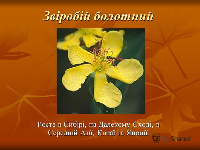 Звіробій болотний Росте в Сибірі, на Далекому Сході, в Середній Азії, Китаї та Японії.