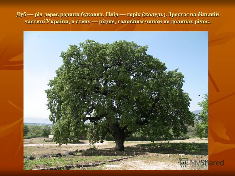 Дуб рід дерев родини букових. Плід горіх (жолудь). Зростає на більшій частині України, в степу рідше, головним чином по долинах річок.