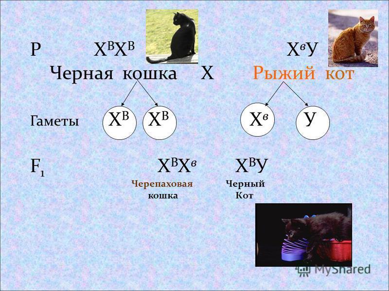 Р Х В Х В Х в У Черная кошка Х Рыжий кот Гаметы Х В Х В Х в У F 1 Х В Х в Х В У Черепаховая кошка Черный Кот