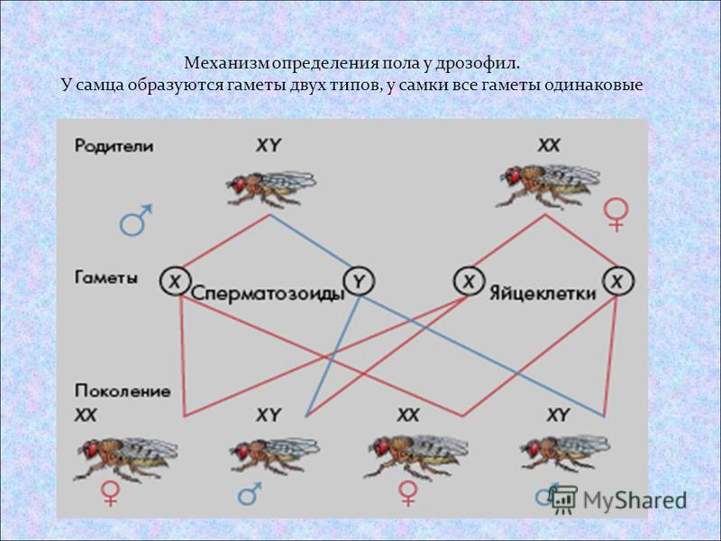 Механизм определения пола у дрозофил. У самца образуются гаметы двух типов, у самки все гаметы одинаковые