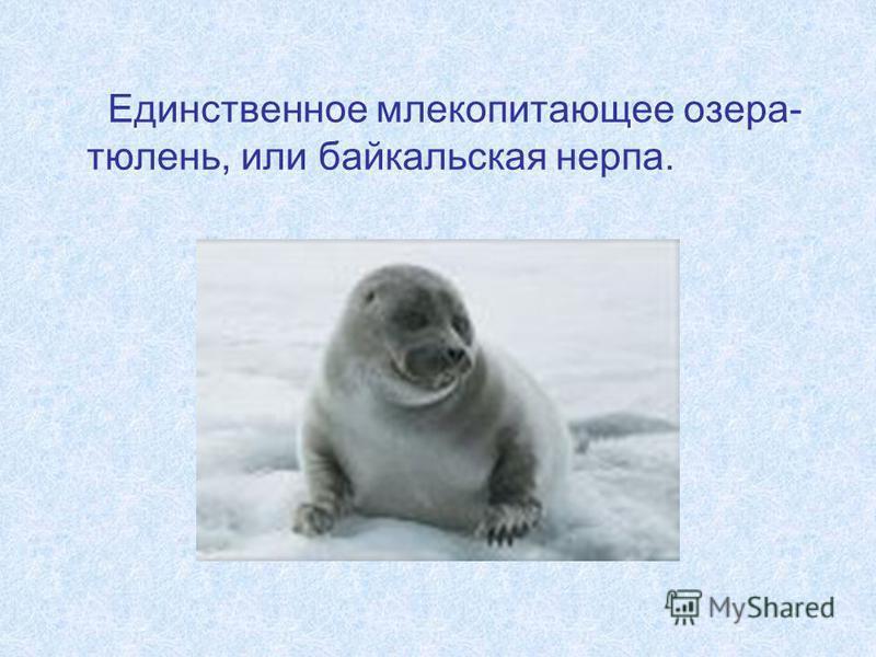 Единственное млекопитающее озера- тюлень, или байкальская нерпа.