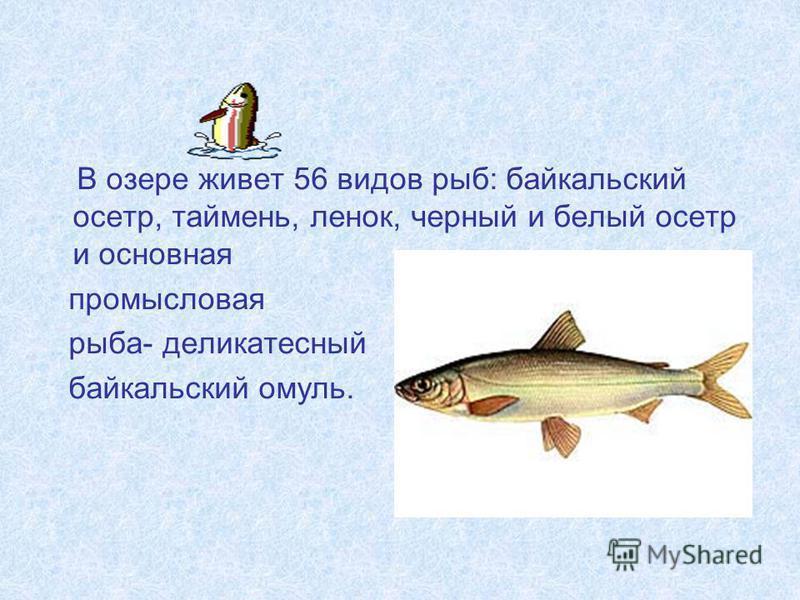 В озере живет 56 видов рыб: байкальский осетр, таймень, ленок, черный и белый осетр и основная промысловая рыба- деликатесный байкальский омуль.