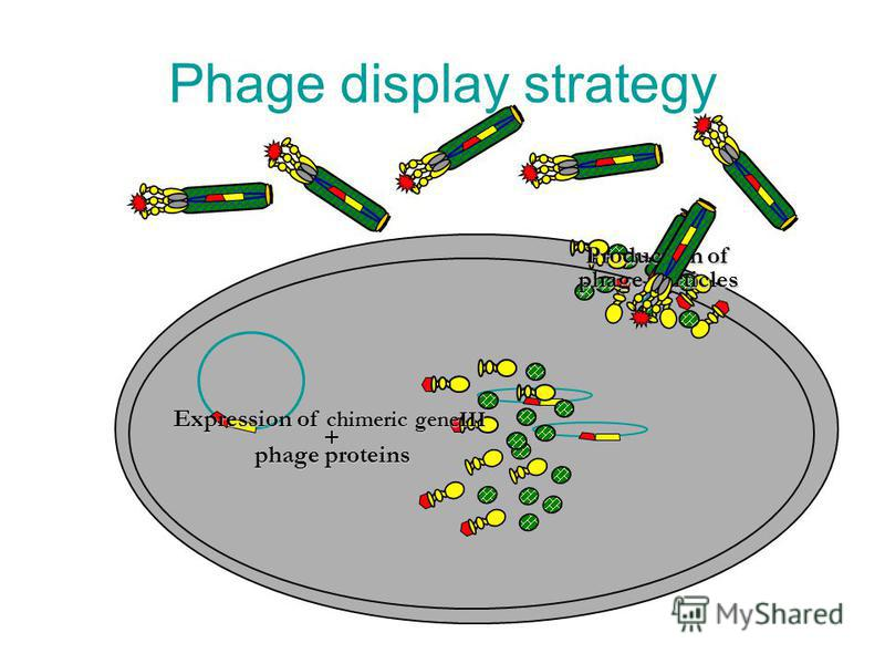 Phage display strategy Production of phage particles Expression of chimeric geneIII + phage proteins